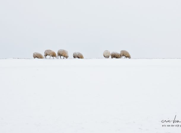 landschap met schapen in de winter